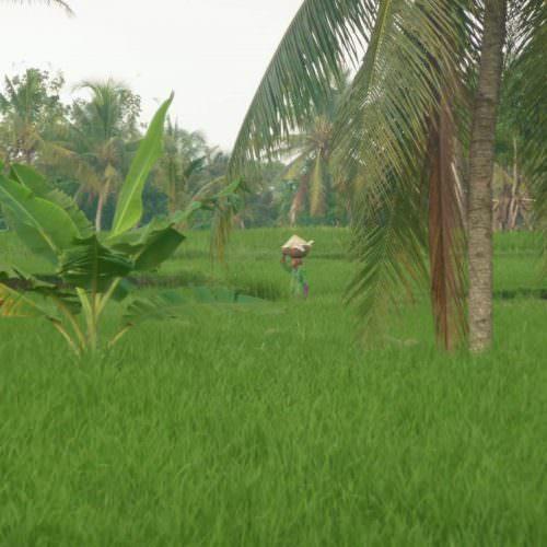 indonesische-rijstvelden
